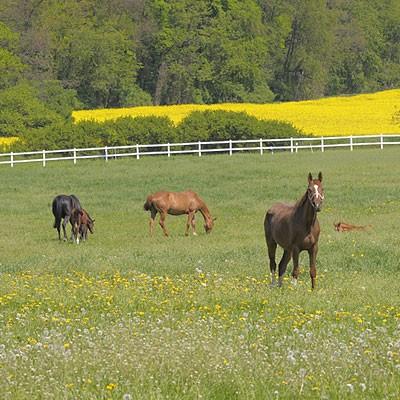 pferde-auf-weide