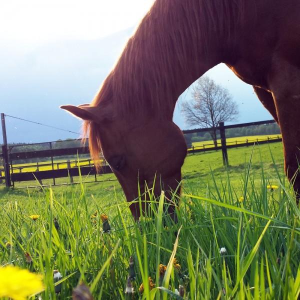 sommerhusten-pferde
