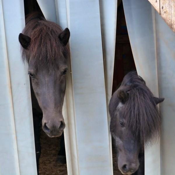 kaltes-fruehjahr-pferde