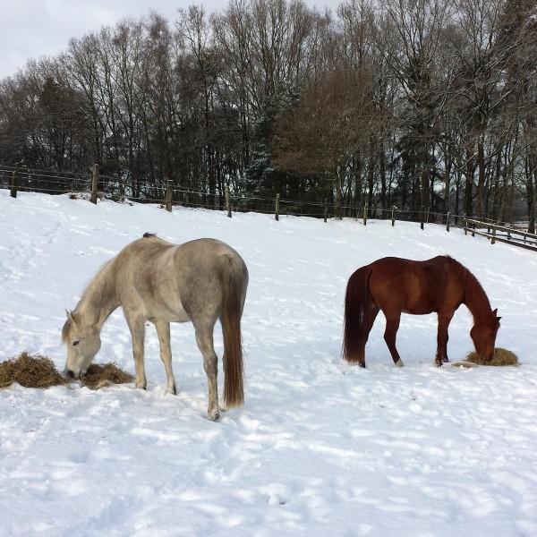 pferde-winter-weihnachten